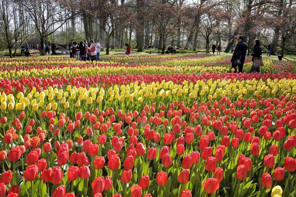 O famoso Parque das tulipas na Holanda